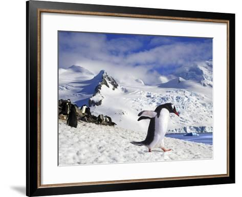 Gentoo Penguin (Pygoscelis Papua) Waddles Toward the Arctic Sea Near Paradise Harbor, Antarctica-Miva Stock-Framed Art Print