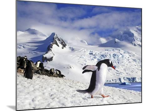 Gentoo Penguin (Pygoscelis Papua) Waddles Toward the Arctic Sea Near Paradise Harbor, Antarctica-Miva Stock-Mounted Photographic Print