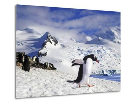 Gentoo Penguin (Pygoscelis Papua) Waddles Toward the Arctic Sea Near Paradise Harbor, Antarctica-Miva Stock-Metal Print
