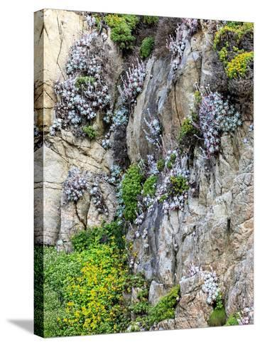 Flowers as Cliff Hangers. Garrapata State Park, Big Sur, California, USA-Tom Norring-Stretched Canvas Print