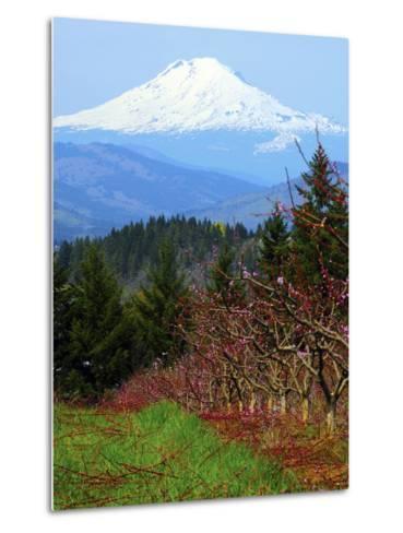 Peach Blossoms, Hood River, Oregon, USA-Michel Hersen-Metal Print