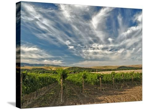 Vineyard of Walla Walla Vintners, Walla Walla, Washington, USA-Richard Duval-Stretched Canvas Print