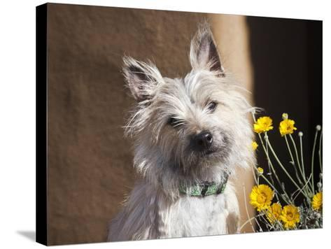 A White Cairn Terrier Sitting Next to Yellow Flowers-Zandria Muench Beraldo-Stretched Canvas Print