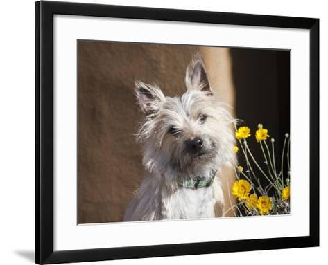 A White Cairn Terrier Sitting Next to Yellow Flowers-Zandria Muench Beraldo-Framed Art Print
