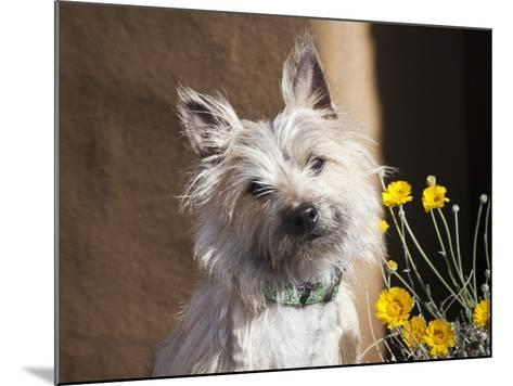 A White Cairn Terrier Sitting Next to Yellow Flowers-Zandria Muench Beraldo-Mounted Photographic Print