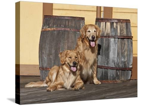 Two Golden Retrievers Next to Two Wooden Barrels on a Wooden Deck-Zandria Muench Beraldo-Stretched Canvas Print