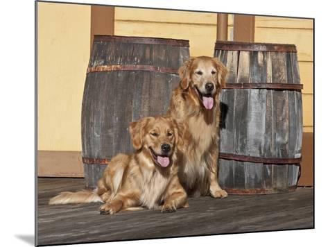 Two Golden Retrievers Next to Two Wooden Barrels on a Wooden Deck-Zandria Muench Beraldo-Mounted Photographic Print