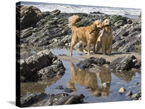 Two Golden Retrievers Playing with a Stick Next to a Tidal Pool at a Beach-Zandria Muench Beraldo-Stretched Canvas Print