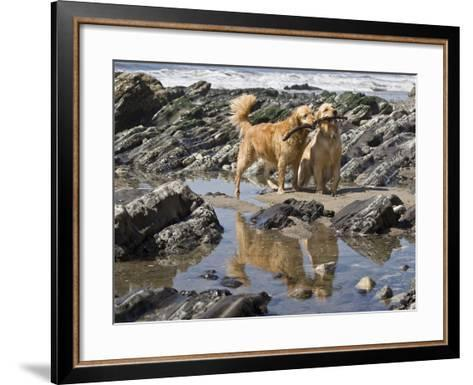Two Golden Retrievers Playing with a Stick Next to a Tidal Pool at a Beach-Zandria Muench Beraldo-Framed Art Print