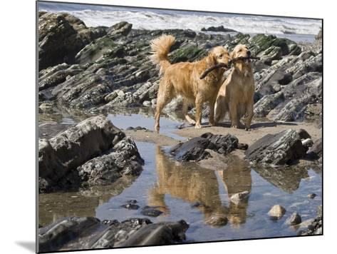 Two Golden Retrievers Playing with a Stick Next to a Tidal Pool at a Beach-Zandria Muench Beraldo-Mounted Photographic Print