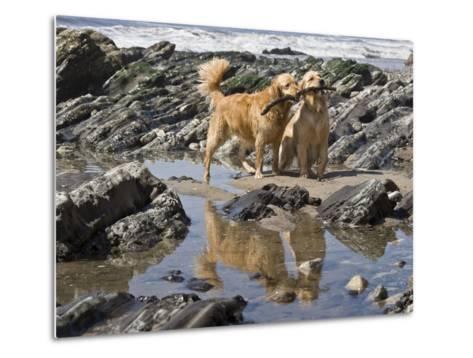 Two Golden Retrievers Playing with a Stick Next to a Tidal Pool at a Beach-Zandria Muench Beraldo-Metal Print