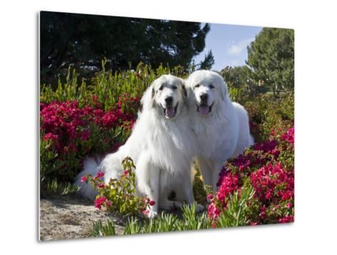 Two Great Pyrenees Together Among Red Flowers, California, USA-Zandria Muench Beraldo-Metal Print