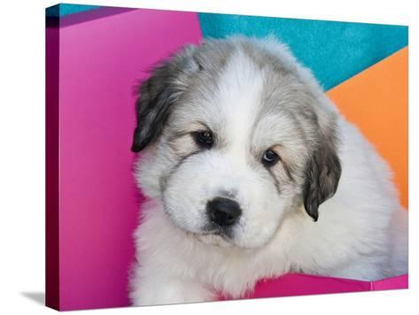 Portrait of a Great Pyrenees Puppy with Colorful Background, California, USA-Zandria Muench Beraldo-Stretched Canvas Print