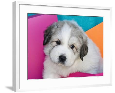Portrait of a Great Pyrenees Puppy with Colorful Background, California, USA-Zandria Muench Beraldo-Framed Art Print