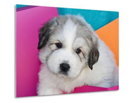 Portrait of a Great Pyrenees Puppy with Colorful Background, California, USA-Zandria Muench Beraldo-Metal Print