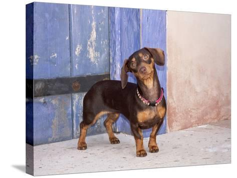 A Dachshund Puppy Standing in a Colorful Doorway with a Pink Bling Collar On, California, USA-Zandria Muench Beraldo-Stretched Canvas Print