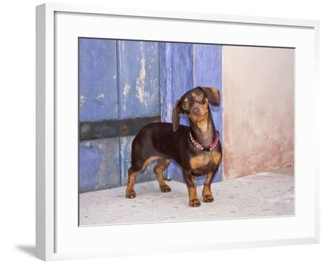 A Dachshund Puppy Standing in a Colorful Doorway with a Pink Bling Collar On, California, USA-Zandria Muench Beraldo-Framed Art Print
