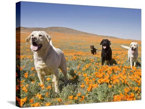Four Labrador Retrievers Standing in a Field of Poppies at Antelope Valley in California, USA-Zandria Muench Beraldo-Stretched Canvas Print