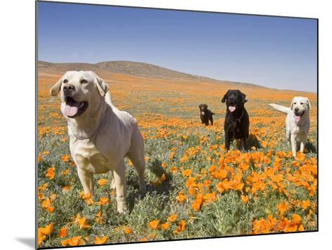 Four Labrador Retrievers Standing in a Field of Poppies at Antelope Valley in California, USA-Zandria Muench Beraldo-Mounted Photographic Print
