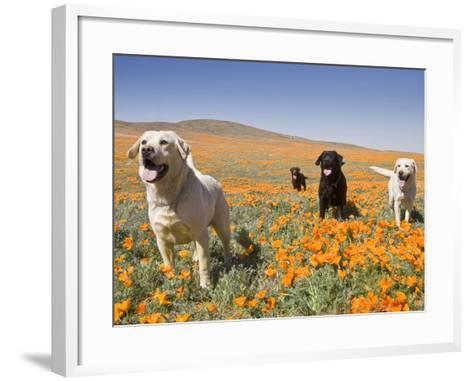 Four Labrador Retrievers Standing in a Field of Poppies at Antelope Valley in California, USA-Zandria Muench Beraldo-Framed Art Print