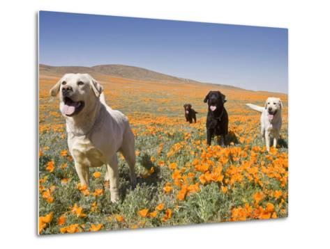 Four Labrador Retrievers Standing in a Field of Poppies at Antelope Valley in California, USA-Zandria Muench Beraldo-Metal Print