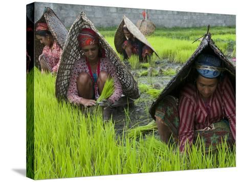 Female Farmers at Work in Rice Nursery, with Rain Protection, Annapurna Area, Pokhara, Nepal, Asia-Eitan Simanor-Stretched Canvas Print