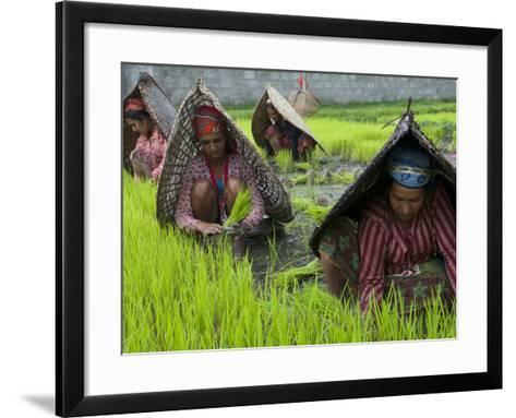 Female Farmers at Work in Rice Nursery, with Rain Protection, Annapurna Area, Pokhara, Nepal, Asia-Eitan Simanor-Framed Art Print