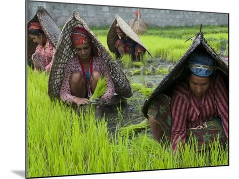 Female Farmers at Work in Rice Nursery, with Rain Protection, Annapurna Area, Pokhara, Nepal, Asia-Eitan Simanor-Mounted Photographic Print