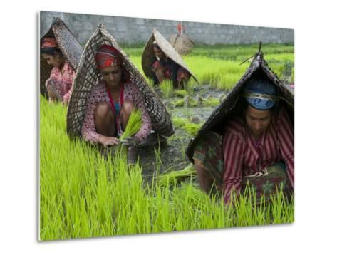 Female Farmers at Work in Rice Nursery, with Rain Protection, Annapurna Area, Pokhara, Nepal, Asia-Eitan Simanor-Metal Print