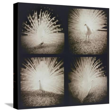 White Peacock Four times-Theo Westenberger-Stretched Canvas Print