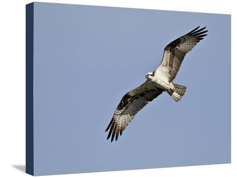 Osprey (Pandion Haliaetus) in Flight, Lemhi County, Idaho, United States of America, North America-James Hager-Stretched Canvas Print