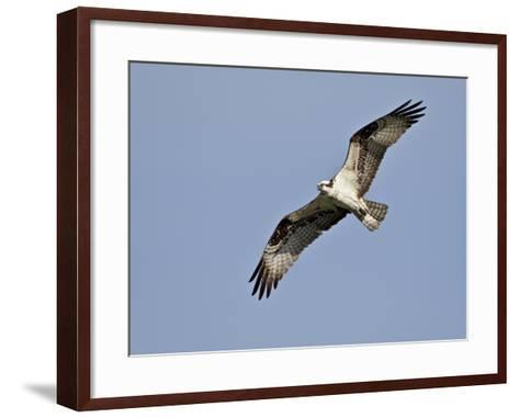 Osprey (Pandion Haliaetus) in Flight, Lemhi County, Idaho, United States of America, North America-James Hager-Framed Art Print