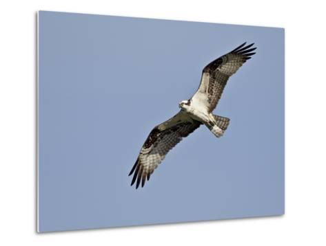 Osprey (Pandion Haliaetus) in Flight, Lemhi County, Idaho, United States of America, North America-James Hager-Metal Print