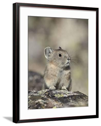 American Pika (Ochotona Princeps), Shoshone National Forest, Wyoming, USA, North America-James Hager-Framed Art Print