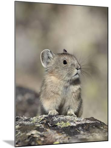 American Pika (Ochotona Princeps), Shoshone National Forest, Wyoming, USA, North America-James Hager-Mounted Photographic Print