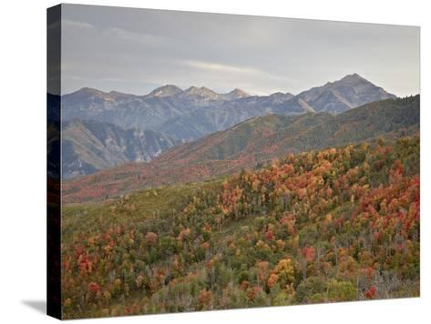 Red and Orange Fall Colors in the Wasatch Mountains, Uinta National Forest, Utah, USA-James Hager-Stretched Canvas Print