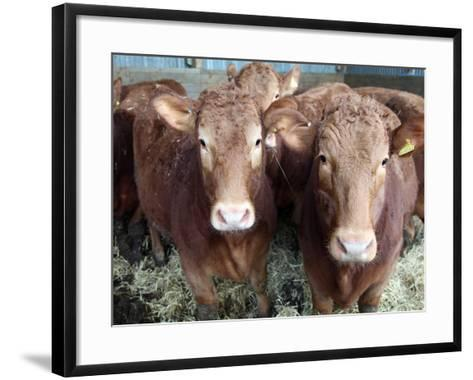 Pedigree South Devon Cattle, Devon, England, United Kingdom, Europe-David Lomax-Framed Art Print