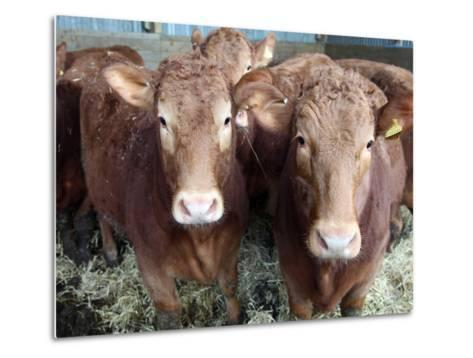 Pedigree South Devon Cattle, Devon, England, United Kingdom, Europe-David Lomax-Metal Print