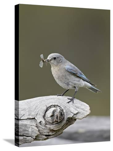 Female Mountain Bluebird (Sialia Currucoides) with an Insect, Yellowstone Nat'l Park, Wyoming, USA-James Hager-Stretched Canvas Print