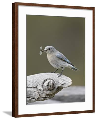 Female Mountain Bluebird (Sialia Currucoides) with an Insect, Yellowstone Nat'l Park, Wyoming, USA-James Hager-Framed Art Print