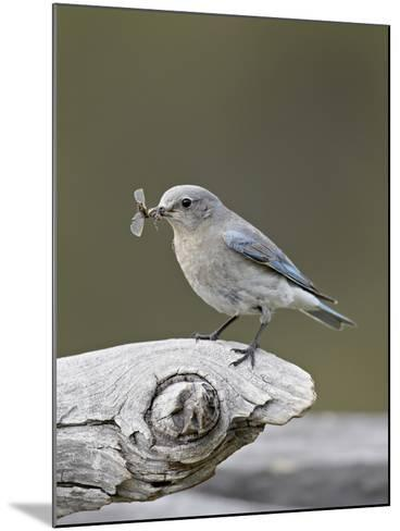 Female Mountain Bluebird (Sialia Currucoides) with an Insect, Yellowstone Nat'l Park, Wyoming, USA-James Hager-Mounted Photographic Print