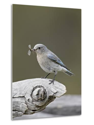 Female Mountain Bluebird (Sialia Currucoides) with an Insect, Yellowstone Nat'l Park, Wyoming, USA-James Hager-Metal Print