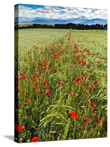 Wild Poppies (Papaver Rhoeas) and Wild Grasses with Sierra Nevada Mountains, Andalucia, Spain-Giles Bracher-Stretched Canvas Print