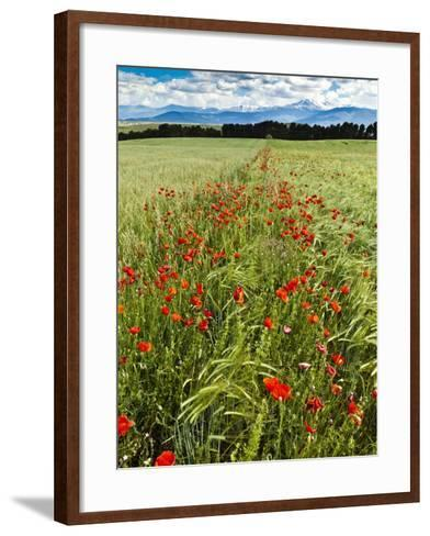 Wild Poppies (Papaver Rhoeas) and Wild Grasses with Sierra Nevada Mountains, Andalucia, Spain-Giles Bracher-Framed Art Print