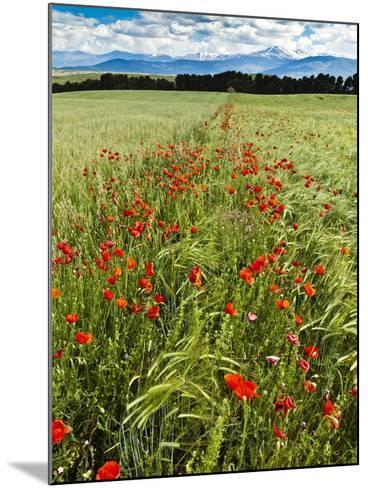 Wild Poppies (Papaver Rhoeas) and Wild Grasses with Sierra Nevada Mountains, Andalucia, Spain-Giles Bracher-Mounted Photographic Print