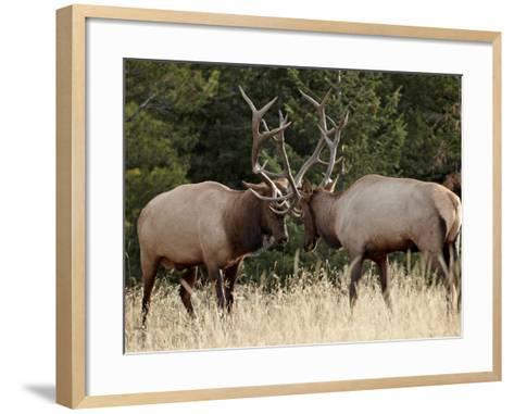 Two Bull Elk (Cervus Canadensis) Sparring During the Rut, Jasper National Park, Alberta, Canada-James Hager-Framed Art Print