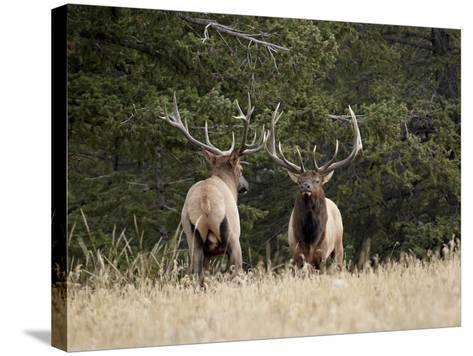 Two Bull Elk (Cervus Canadensis) Facing Off During the Rut, Jasper National Park, Alberta, Canada-James Hager-Stretched Canvas Print