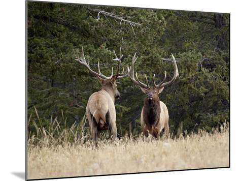 Two Bull Elk (Cervus Canadensis) Facing Off During the Rut, Jasper National Park, Alberta, Canada-James Hager-Mounted Photographic Print