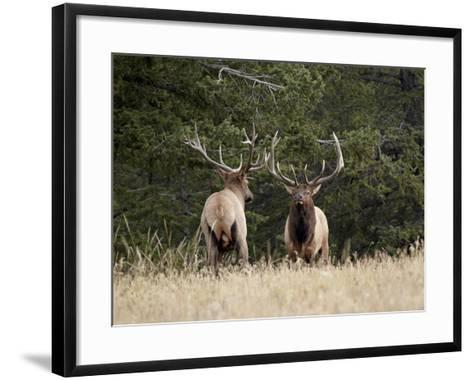 Two Bull Elk (Cervus Canadensis) Facing Off During the Rut, Jasper National Park, Alberta, Canada-James Hager-Framed Art Print