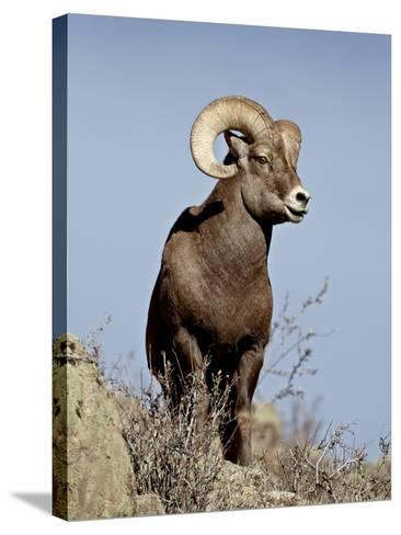 Bighorn Sheep (Ovis Canadensis) Ram During the Rut, Arapaho National Forest, Colorado, USA-James Hager-Stretched Canvas Print